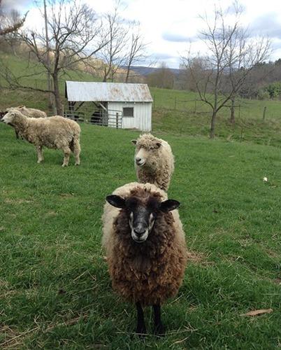 Sweetwater Farm Sheep